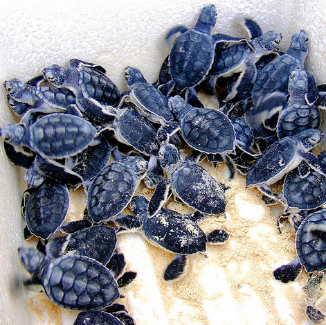 Kids & Learning: 6 Hotels Saving Baby Sea Turtles