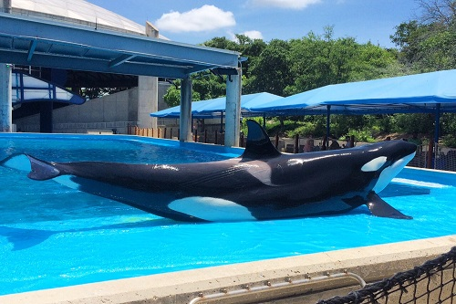 Meet Sakari, a 5 y.o. orca. She played to the crowd during the Dine with Shamu program.