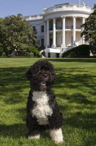 bo white house dog