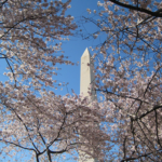 Family Fun: DC's National Cherry Blossom Festival