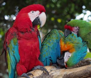 Parrots at Gatorland