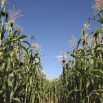 Top 10 Corn Mazes for Families