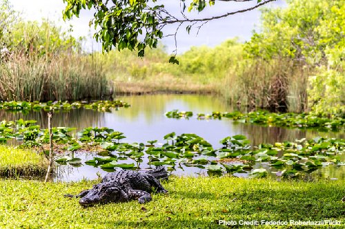 Florida Everglades Alligator