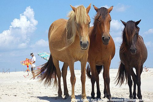 assateague state park ponies