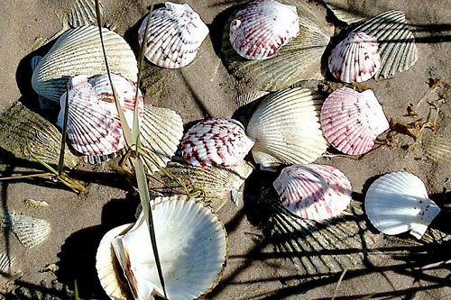 gulf county-great shells