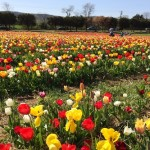 10 Tulip Gardens & Festivals to Visit with Kids